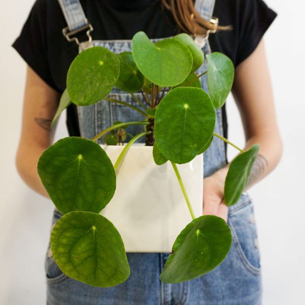 Pilea {Potted}